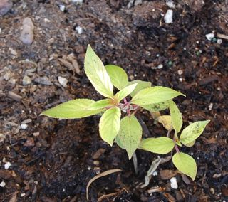 Pineapple sage in ground